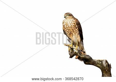 Attentive Eurasian Sparrowhawk Sitting On Bough Isolated On White