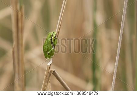 Tree Frog - Hyla Arborea - Green Frog Sitting Huddled On A Blade Of Dry Grass. Photo Has Nice Bokeh.