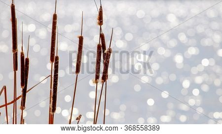 Dry Reeds On A Background Of River Water. Reeds On A Blurred Background With Bokeh