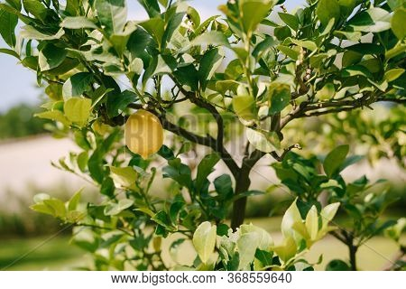 Yellow Lemons On A Tree, Lemon Trees In Pots, Close-up.