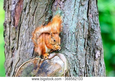 An Orange Squirrel Sits On A Tree Trunk And Nibbles A Nut.