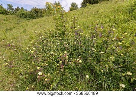 Dogwood - Cornus Sanguinea  New Scrub Growth With Flowers