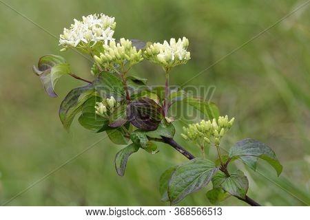 Dogwood - Cornus Sanguinea Branch With Flowers & Leaves