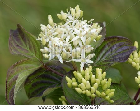 Dogwood - Cornus Sanguinea Closeup Of Flowers And Leaves