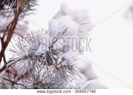 Winter Spruce Branch Under White Snow. Spruce Branch On Winter Day.large Blue Spruce Branch With Sno