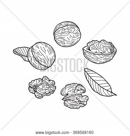 Set Of Walnuts On A White Background. Hand-drawn Vector Illustration.