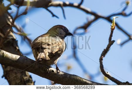 Male Tree Sparrow Perched In A Tree