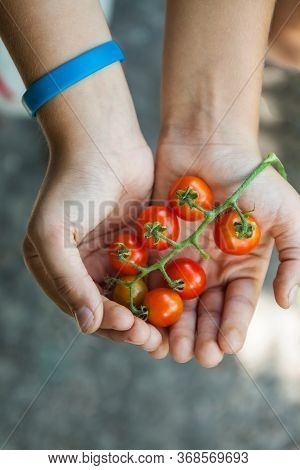 Branch Of Cherry Tomatoes In Childrens Hands, Top View
