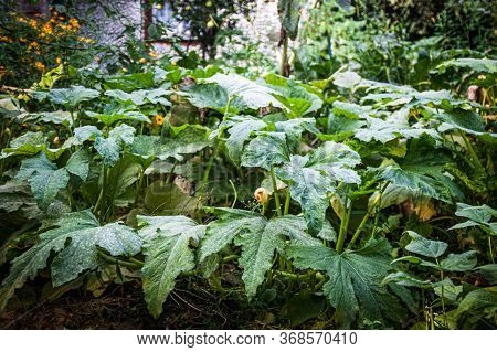 Large Thickets And Leaves Of Squash And Pumpkin In The Garden In Front Of The House