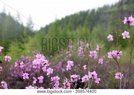 Flowering Bush Of Daurian Rhododendron. Floral Background. Yakut Sakura In The Forest In Yakutia. Da