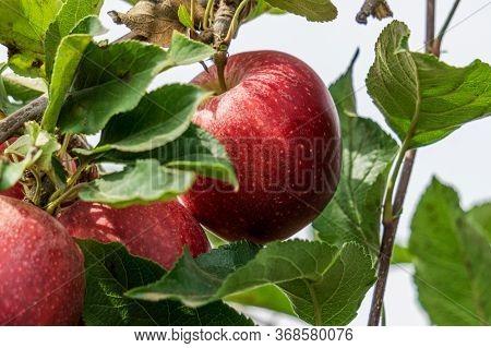 Royal Gala Apples On The Tree Branch In Autumn Farm Closeup.
