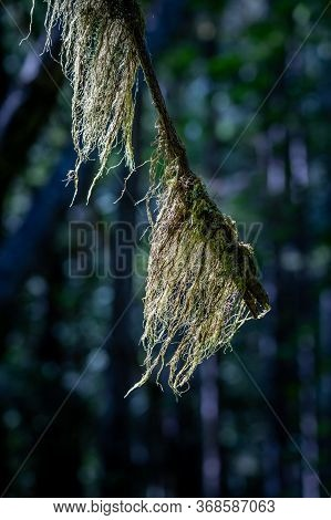 Old Mans Beard, Usnea Sp., A Lichen, On Tree Branch, Hamilton Marsh, Bc, Canada