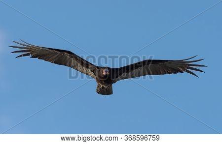 Turkey Vulture, Cathartes Aura, Single Bird In Flight, Tulum Beach, Mexico
