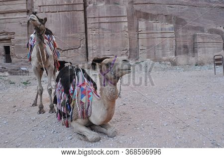Dromedary Camel In The Ancient City Of Nabe Petra. Tourist Attraction And Transport For Visitors. A
