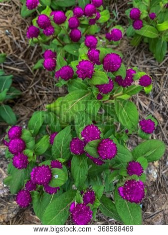 Gomphrena Globosa (globe Amaranth). Top View Purple Flower Bloom In Tropical Garden. Flower Planting