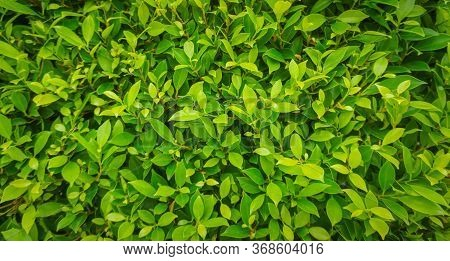 Green Leaf Texture Background. Wallpaper Leaf Surface Natural Green Plants Landscape, Ecology, Fresh