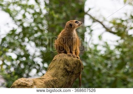 Portrait Of Adult Wild African Meerkat, Meerkat (suricatta). Photographed In Nature In The Wild.