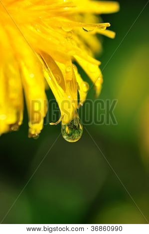Dandelion With A Water Drop