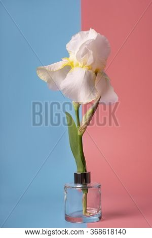 White Iris Flower On Pink Blue Background