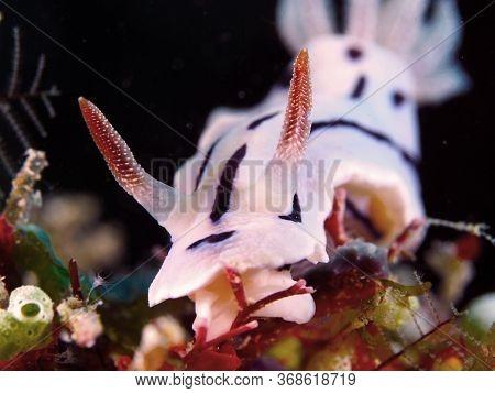 White Sea Slug Underwater  In Mabul Island In Malaysia