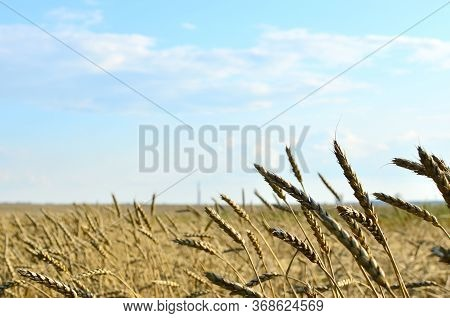 View Of A Field With Ripe Wheat With A Golden Hue In The Sun. Summer Harvest. Farm, Production Of Fl