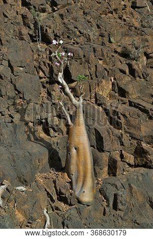Flowering Bottle Tree Is Endemic Tree Adenium Obesum Of Socotra Island, Yemen