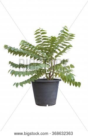Star Gooseberry Or Phyllanthus Acidus Tree In Black Plastic Pot Isolated On White Background Include