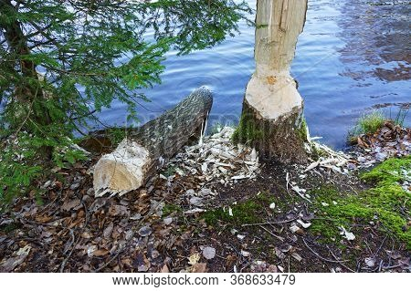 Tree Gnawed By The Beaver, The Beaver Teeth Marks On A Tree Trunk
