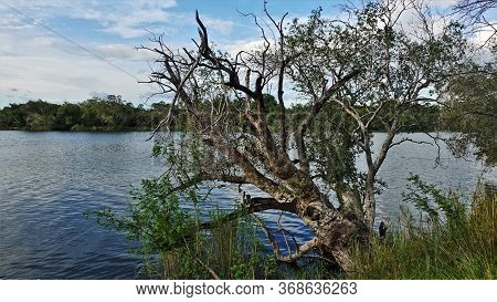 The Zambezi River In Zimbabwe Flows Quietly. The Old Tree Bent, Lowered The Branches Into The Water.