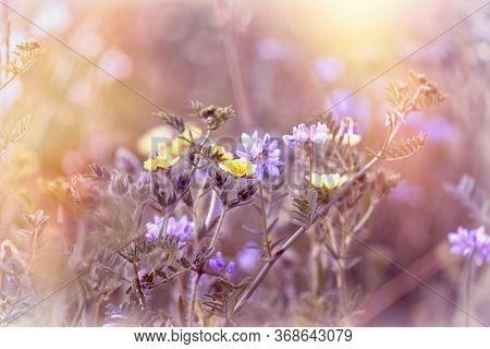 Flowering Yelow And Purple Flower In Meadow, Beautiful Nature In Meadow