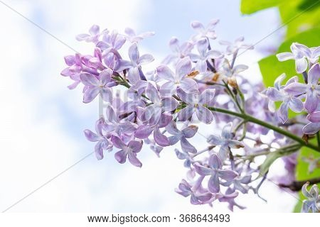 Spring Branch Blossoming Lilac.