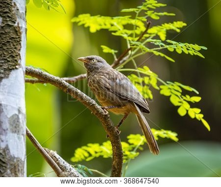 The Jungle Babbler (argya Striata) Is A Member Of The Family Leiothrichidae Found In The Indian Subc