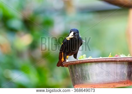 Feeding Of Small Yellow Rumped Cacique Bird (latin Name Cacicus Cela). Bird Feeder Is Placed On Trop