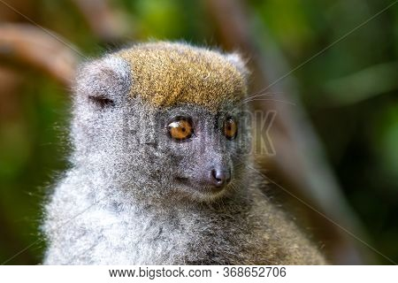 Portrait Of A Bamboo Lemur In Its Natural Environment