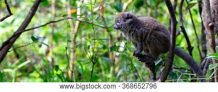 One Bamboo Lemur Is Preparing For The Jump