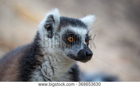 The Portrait Of A Ring-tailed Lemur In Close-up