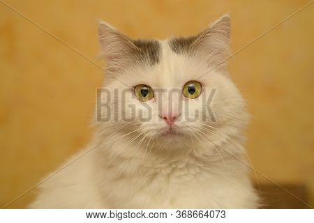 Portrait Of A Yellow-eyed Cat Of A Light Color Cat On A Yellow Background At Home