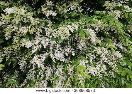 Bush Of White Flowers Called Privet Of Ligustrum Obtusifolium