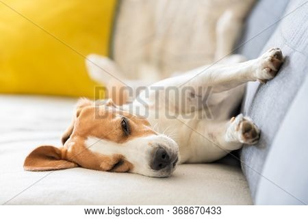 Beagle Dog Falling Asleep And Take Some Rest In Funny Position. Beautiful Dog Portrait. Dogs Funny S