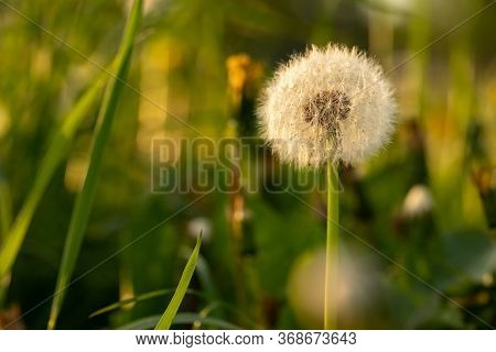 Beautiful White Dandelion In A Field At Sunset. White Dandelion Among Green Grass And Yellow Dandeli