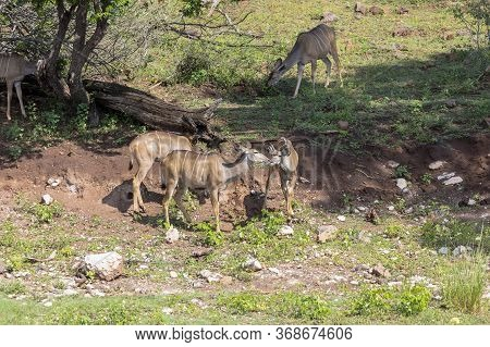 A Group Of Kudu Feed Next To The Chobe River In Botswana