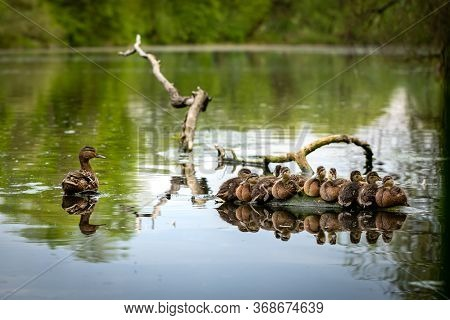 Duck Family At The Pond. A Duck And A Group Of Ducklings At Driftwood In A Pond. Ducklings And Mom D