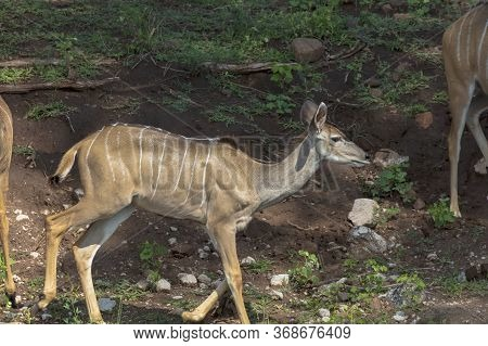 Side Shot Of A Kudu Showing The Flank Markings Used For Camouflage