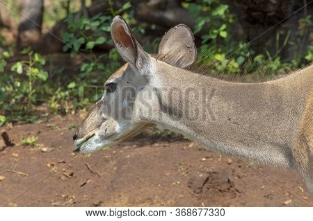Rear Side Head And Neck Close-up Of A Young Adult Kudu In Botswana.