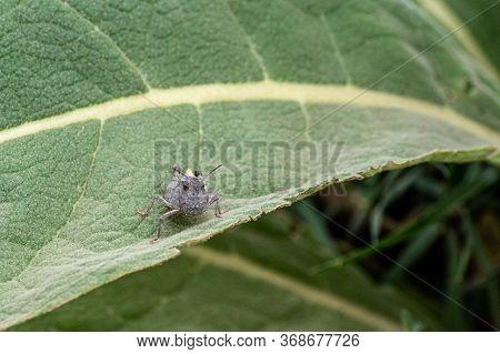 Cute, Grumpy Grasshopper Sitting On A Green Leaf