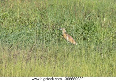 A Squacco Heron In Botswana. Wide Shot.
