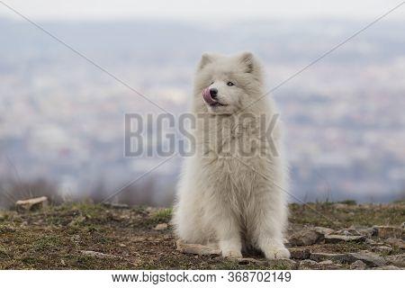 Samoyed - Samoyed Beautiful Breed Siberian White Dog. Four Months Old Puppy On A Walk.