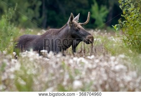 Male Elk With Broken Antlers (alces Alces) Walks Through Grass Clearing At Late Summer In  Rutting A