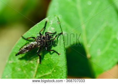 Macro Of A Robber Fly (asilidae Family), Also Called Assassin Flies. They Are Powerfully Built, Bris