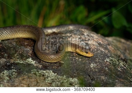 Aesculapian Snake - Zamenis Longissimus, Elaphe Longissima, Nonvenomous Olive Green And Yellow Snake